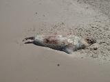 Dead seals