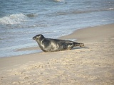 Obserwacja foki obrączkowanej