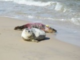 Wypuszczanie młodych fok do Bałtyku